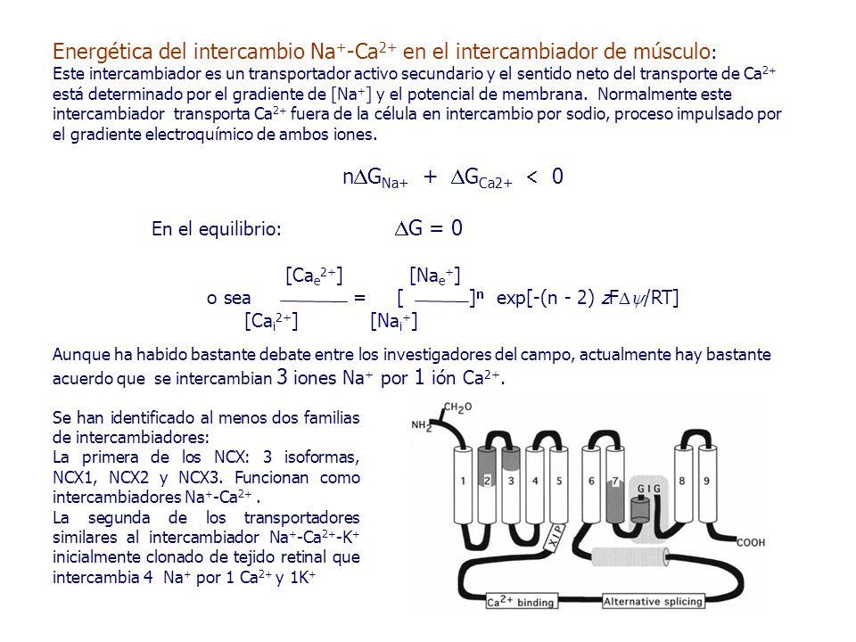 Energética del intercambio Na + -Ca 2+ en el intercambiador de músculo : Este intercambiador es un transportador activo secundario y el sentido neto del transporte de Ca 2+ está determinado por el gradiente de [Na + ] y el potencial de membrana.