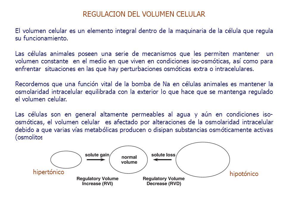 REGULACION DEL VOLUMEN CELULAR El volumen celular es un elemento integral dentro de la maquinaria de la célula que regula su funcionamiento.
