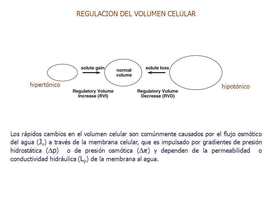 REGULACION DEL VOLUMEN CELULAR Los rápidos cambios en el volumen celular son comúnmente causados por el flujo osmótico del agua ( J v ) a través de la membrana celular, que es impulsado por gradientes de presión hidrostática (  p ) o de presión osmótica (  ) y dependen de la permeabilidad o conductividad hidráulica ( L p ) de la membrana al agua.