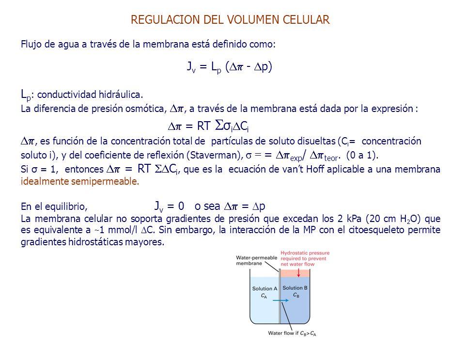 REGULACION DEL VOLUMEN CELULAR Flujo de agua a través de la membrana está definido como: J v = L p (  -  p) L p : conductividad hidráulica.
