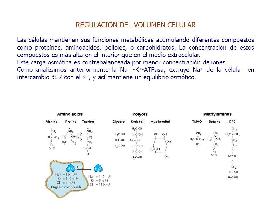 REGULACION DEL VOLUMEN CELULAR Las células mantienen sus funciones metabólicas acumulando diferentes compuestos como proteínas, aminoácidos, polioles, o carbohidratos.