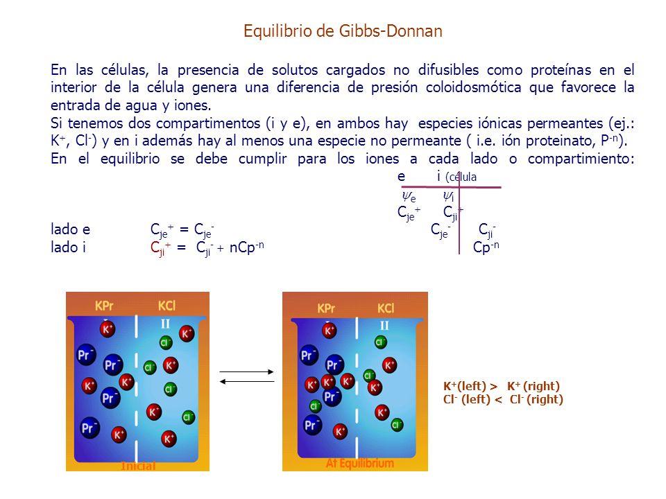 Equilibrio de Gibbs-Donnan En las células, la presencia de solutos cargados no difusibles como proteínas en el interior de la célula genera una diferencia de presión coloidosmótica que favorece la entrada de agua y iones.