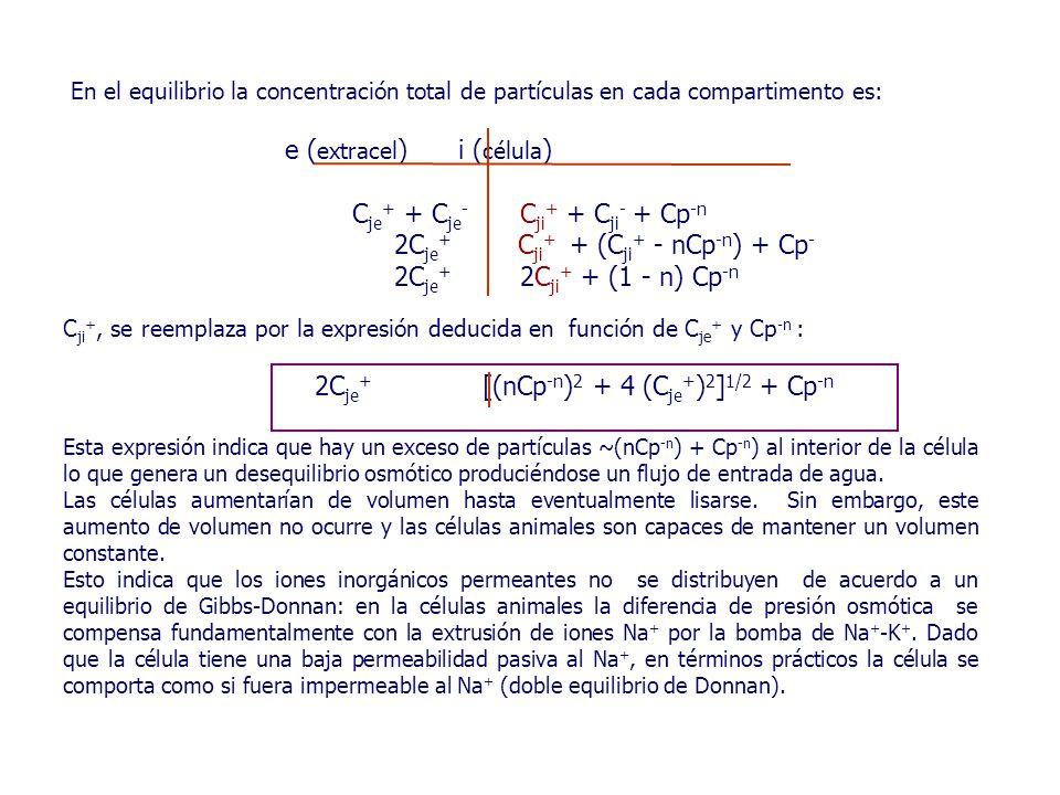 En el equilibrio la concentración total de partículas en cada compartimento es: e ( extracel ) i ( célula ) C je + + C je - C ji + + C ji - + Cp -n 2C je + C ji + + (C ji + - nCp -n ) + Cp - 2C je + 2C ji + + (1 - n) Cp -n C ji +, se reemplaza por la expresión deducida en función de C je + y Cp -n : 2C je + [(nCp -n ) 2 + 4 (C je + ) 2 ] 1/2 + Cp -n Esta expresión indica que hay un exceso de partículas ~(nCp -n ) + Cp -n ) al interior de la célula lo que genera un desequilibrio osmótico produciéndose un flujo de entrada de agua.