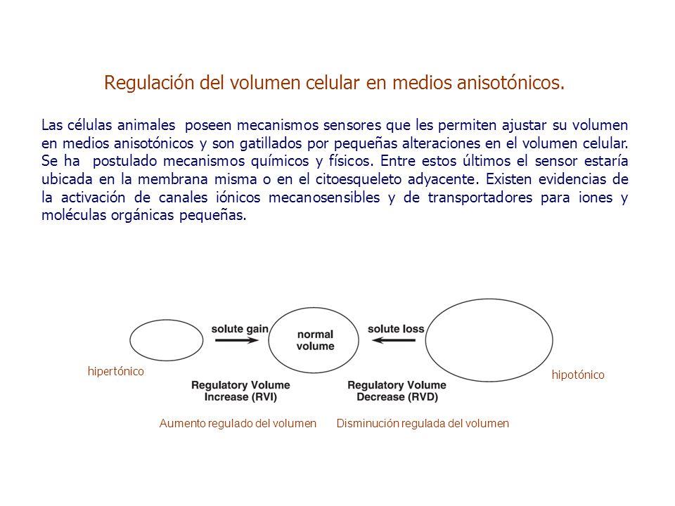 Regulación del volumen celular en medios anisotónicos.