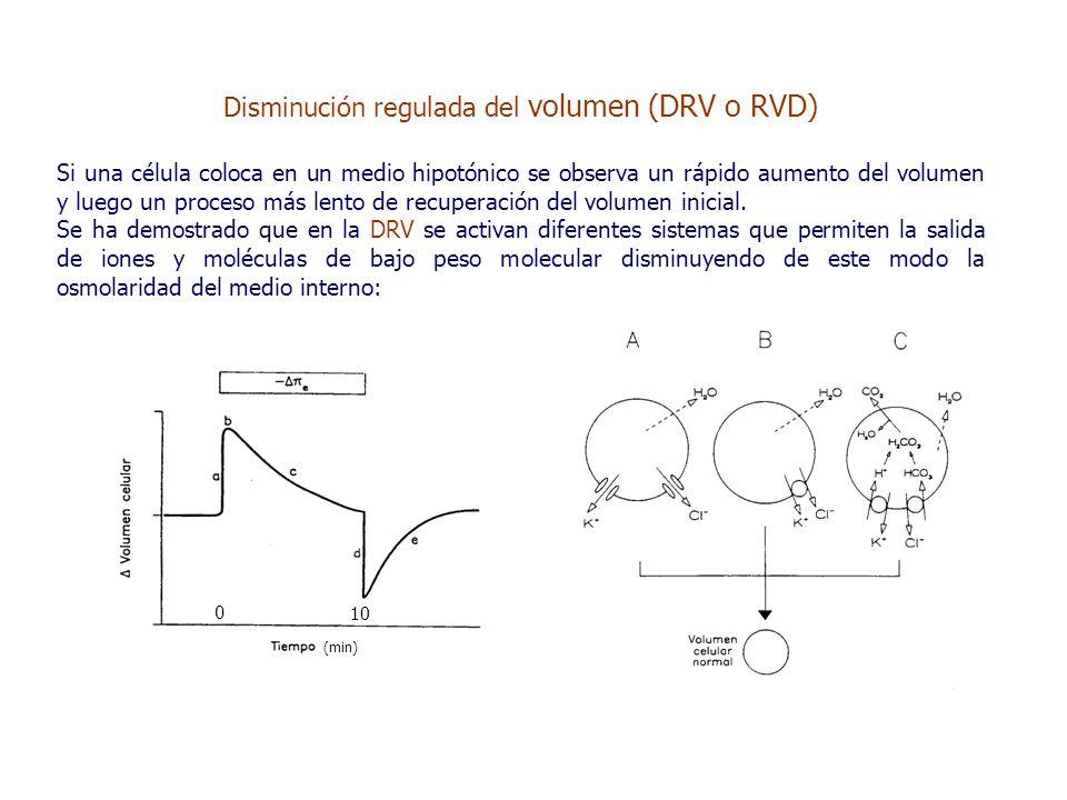 Disminución regulada del volumen (DRV o RVD) Si una célula coloca en un medio hipotónico se observa un rápido aumento del volumen y luego un proceso más lento de recuperación del volumen inicial.