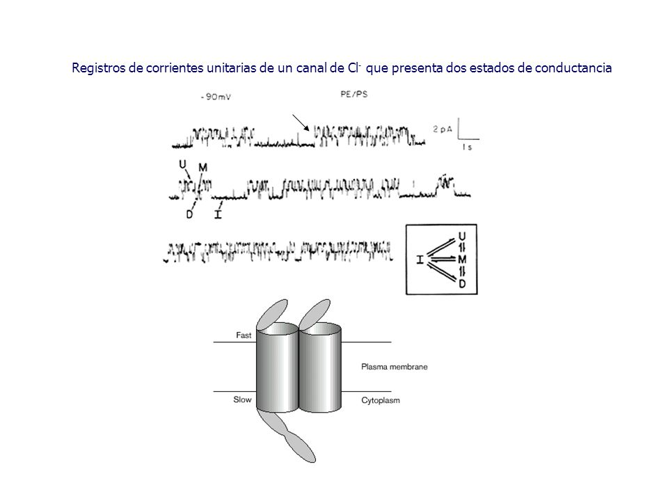 Registros de corrientes unitarias de un canal de Cl - que presenta dos estados de conductancia