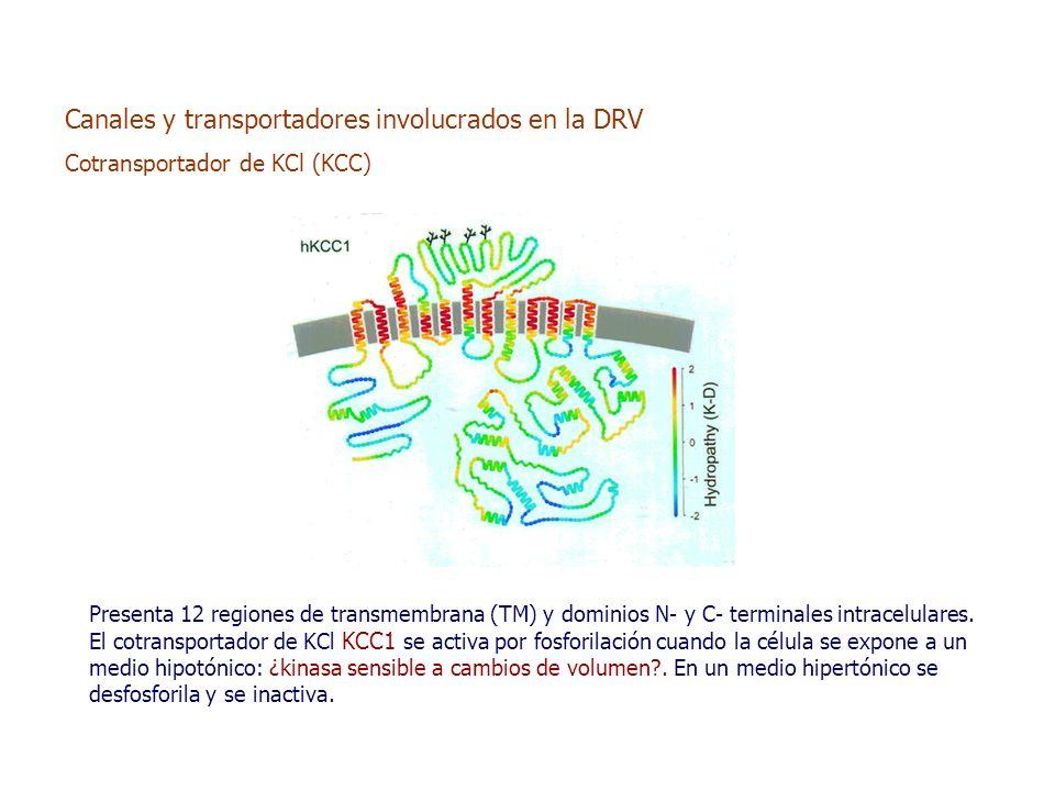 Presenta 12 regiones de transmembrana (TM) y dominios N- y C- terminales intracelulares.