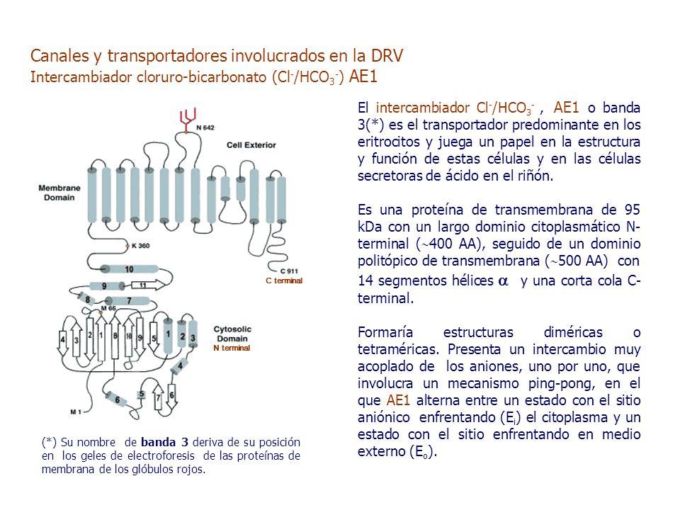 El intercambiador Cl - /HCO 3 -, AE1 o banda 3(*) es el transportador predominante en los eritrocitos y juega un papel en la estructura y función de estas células y en las células secretoras de ácido en el riñón.