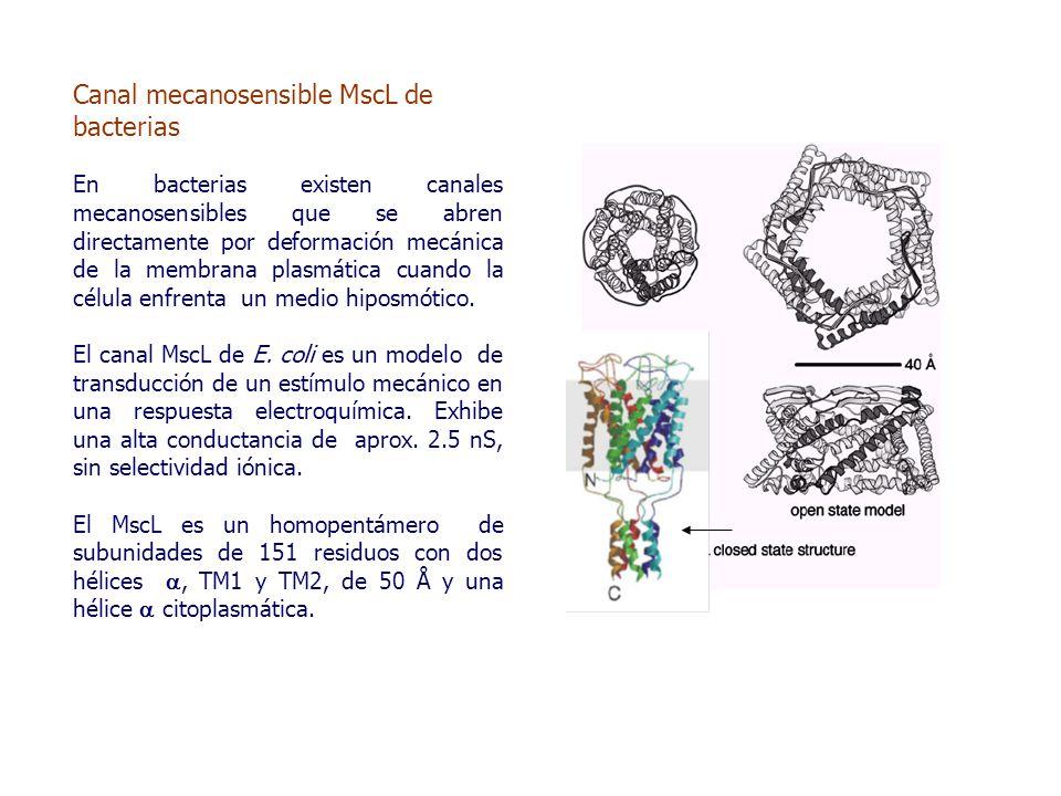 Canal mecanosensible MscL de bacterias En bacterias existen canales mecanosensibles que se abren directamente por deformación mecánica de la membrana plasmática cuando la célula enfrenta un medio hiposmótico.