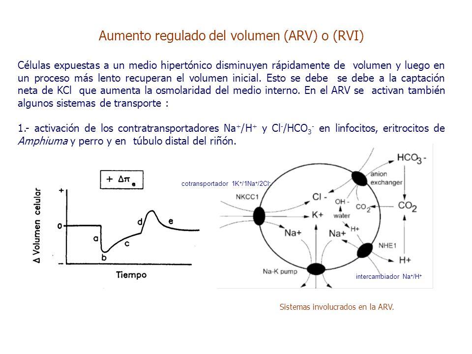 cotransportador 1K + /1Na + /2Cl -. intercambiador Na + /H + Sistemas involucrados en la ARV.