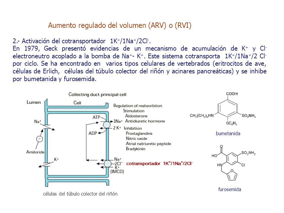 células del túbulo colector del riñón Aumento regulado del volumen (ARV) o (RVI) 2.- Activación del cotransportador 1K + /1Na + /2Cl -.