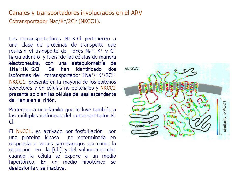 Cotransportador Na + /K + /2Cl - (NKCC1).