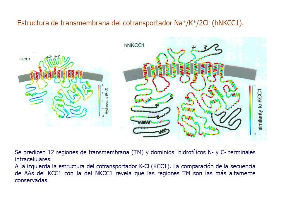 Se predicen 12 regiones de transmembrana (TM) y dominios hidrofílicos N- y C- terminales intracelulares.