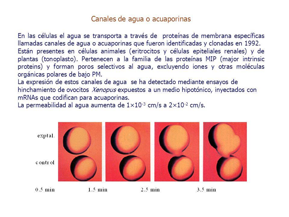 Canales de agua o acuaporinas En las células el agua se transporta a través de proteínas de membrana específicas llamadas canales de agua o acuaporinas que fueron identificadas y clonadas en 1992.