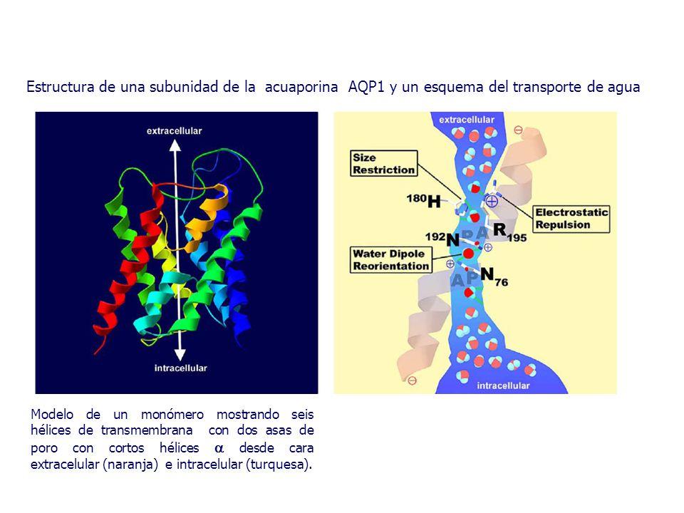 Estructura de una subunidad de la acuaporina AQP1 y un esquema del transporte de agua Modelo de un monómero mostrando seis hélices de transmembrana con dos asas de poro con cortos hélices  desde cara extracelular (naranja) e intracelular (turquesa).