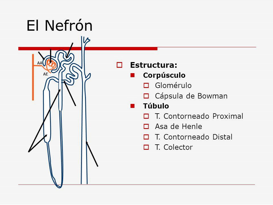  Estructura: Corpúsculo  Glomérulo  Cápsula de Bowman Túbulo  T. Contorneado Proximal  Asa de Henle  T. Contorneado Distal  T. Colector AA AE