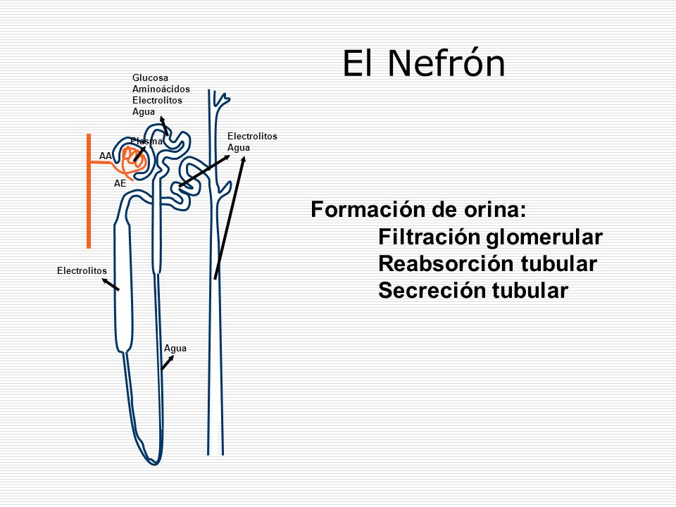 AA AE El Nefrón Glucosa Aminoácidos Electrolitos Agua Plasma Agua Electrolitos Agua Formación de orina: Filtración glomerular Reabsorción tubular Secr