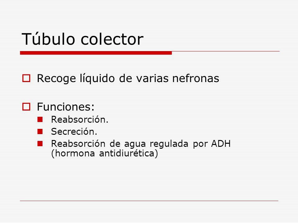 Túbulo colector  Recoge líquido de varias nefronas  Funciones: Reabsorción. Secreción. Reabsorción de agua regulada por ADH (hormona antidiurética)