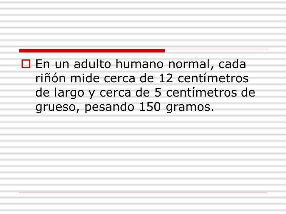  En un adulto humano normal, cada riñón mide cerca de 12 centímetros de largo y cerca de 5 centímetros de grueso, pesando 150 gramos.