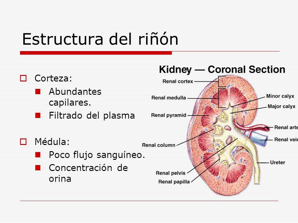 Estructura del riñón  Corteza: Abundantes capilares. Filtrado del plasma  Médula: Poco flujo sanguíneo. Concentración de orina