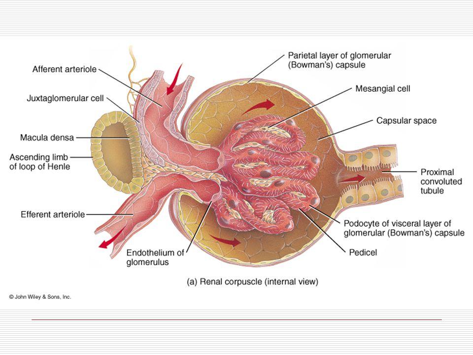 AA AE El Nefrón Glucosa Aminoácidos Electrolitos Agua Plasma Agua Electrolitos Agua Formación de orina: Filtración glomerular Reabsorción tubular Secreción tubular