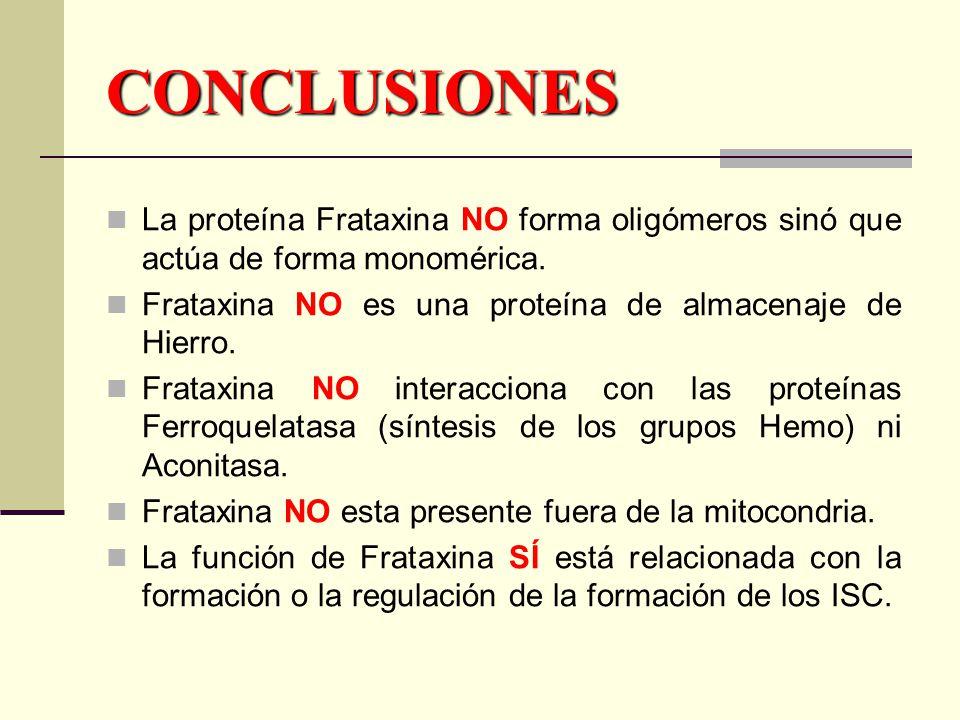 CONCLUSIONES La proteína Frataxina NO forma oligómeros sinó que actúa de forma monomérica.