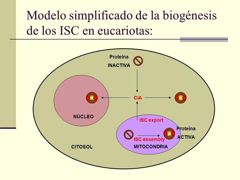 Modelo simplificado de la biogénesis de los ISC en eucariotas: NÚCLEO MITOCONDRIA CITOSOL Proteína INACTIVA Proteína ACTIVA CIA ISC export ISC assembly