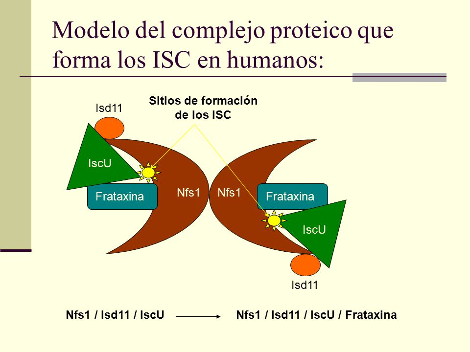 Modelo del complejo proteico que forma los ISC en humanos: Nfs1 / Isd11 / IscUNfs1 / Isd11 / IscU / Frataxina Nfs1 Isd11 IscU Frataxina Sitios de formación de los ISC