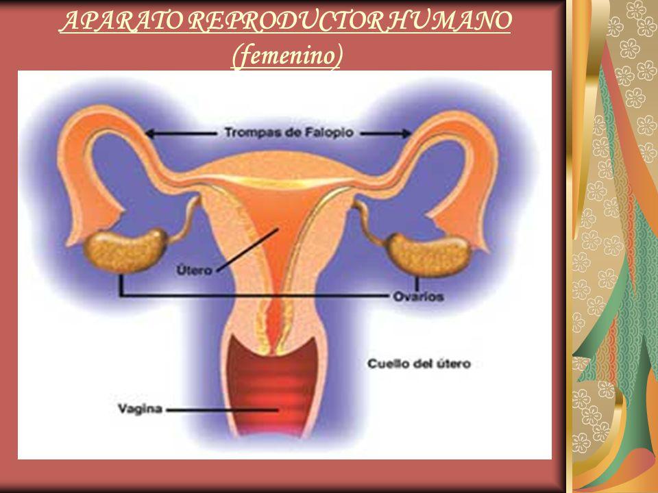 APARATO REPRODUCTOR HUMANO (femenino)