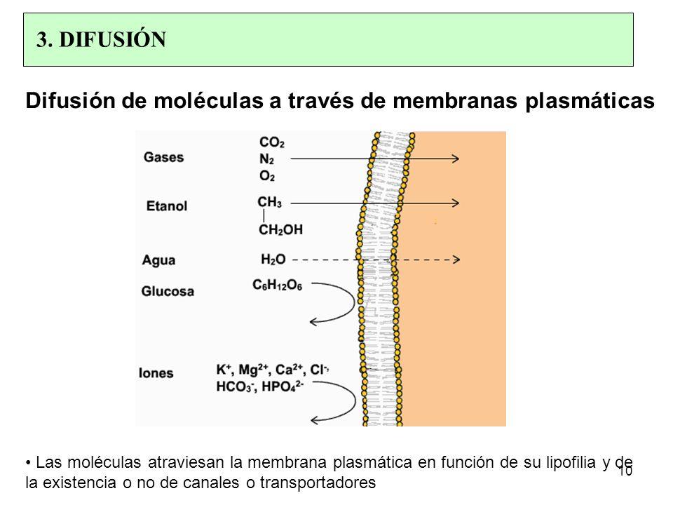 Difusión de moléculas a través de membranas plasmáticas Las moléculas atraviesan la membrana plasmática en función de su lipofilia y de la existencia o no de canales o transportadores 10