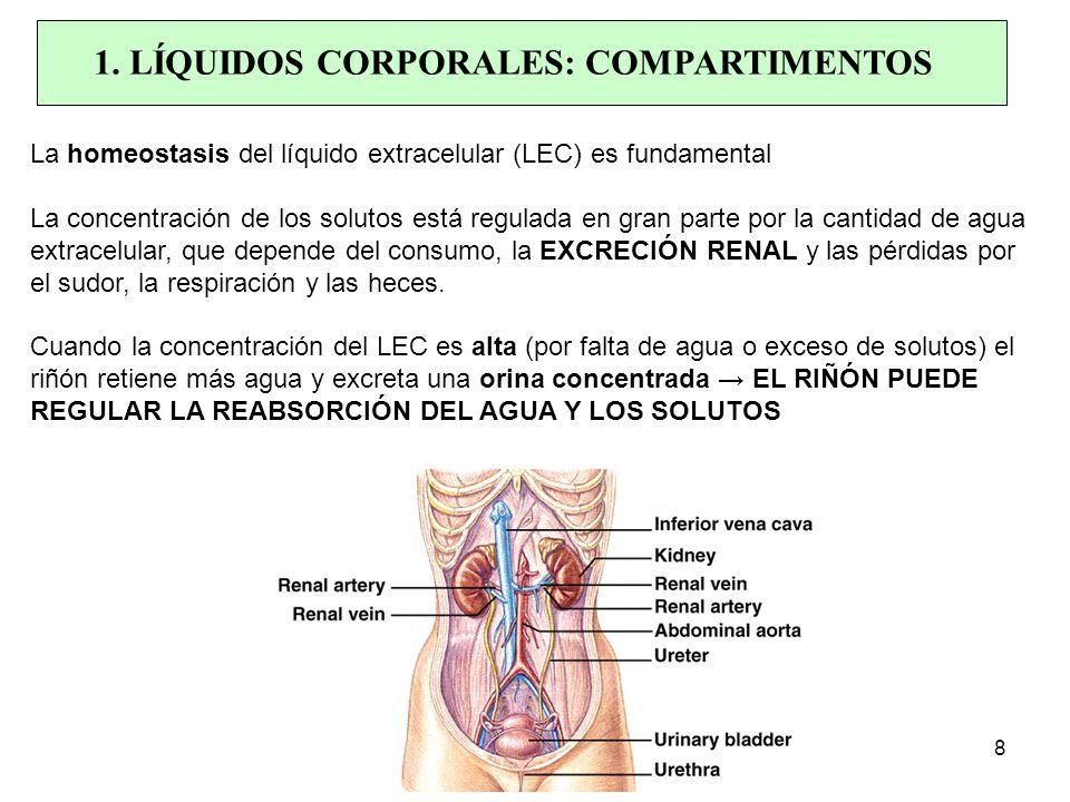 La homeostasis del líquido extracelular (LEC) es fundamental La concentración de los solutos está regulada en gran parte por la cantidad de agua extracelular, que depende del consumo, la EXCRECIÓN RENAL y las pérdidas por el sudor, la respiración y las heces.