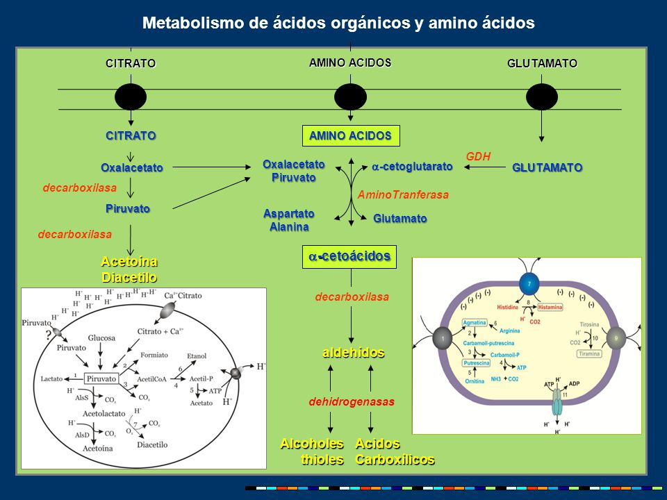 Metabolismo de ácidos orgánicos y amino ácidos 00 AMINO ACIDOS AlcoholesthiolesAcidosCarboxílicos aldehídos decarboxilasa AminoTranferasa  -cetoglutarato Glutamato AspartatoAlanina dehidrogenasas GDH CITRATO Oxalacetato Piruvato Piruvato AcetoínaDiacetilo 2,3 butanodiol  -cetoácidos AMINO ACIDOS CITRATOGLUTAMATO GLUTAMATO decarboxilasa