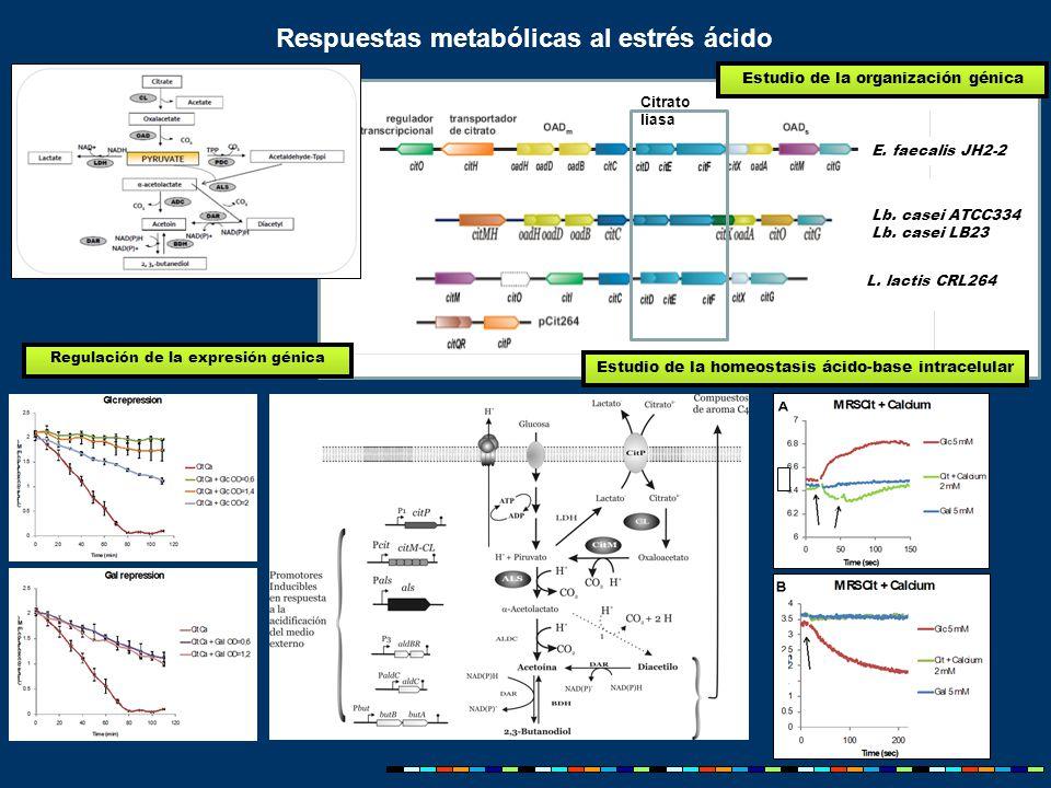Respuestas metabólicas al estrés ácido E. faecalis JH2-2 Lb.