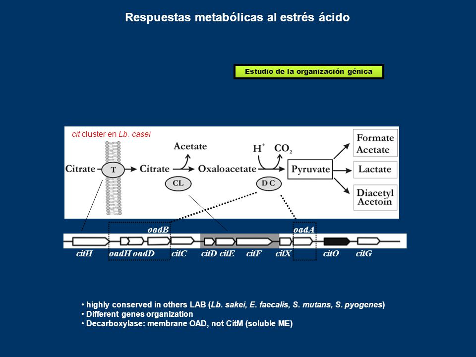 citH oadB oadH oadDcitG oadA citXcitD citE citFcitCcitO highly conserved in others LAB (Lb.