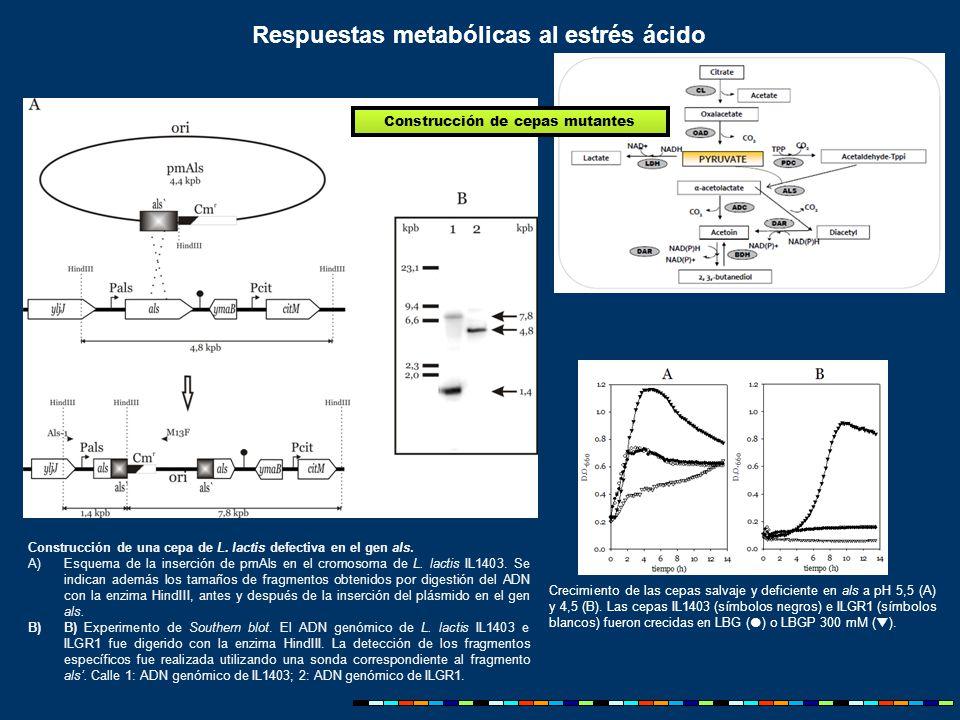 Construcción de una cepa de L. lactis defectiva en el gen als.