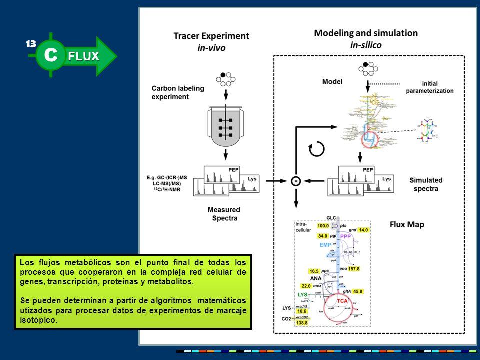FLUX C 13 Los flujos metabólicos son el punto final de todas los procesos que cooperaron en la compleja red celular de genes, transcripción, proteínas y metabolitos.