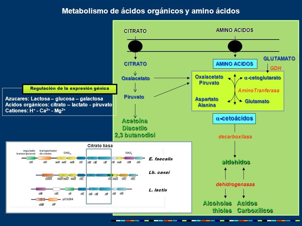 Metabolismo de ácidos orgánicos y amino ácidos AMINO ACIDOS AlcoholesthiolesAcidosCarboxílicos aldehídos decarboxilasa AminoTranferasa  -cetoglutarato Glutamato AspartatoAlanina dehidrogenasas GDH CITRATO Oxalacetato Piruvato Piruvato AcetoínaDiacetilo 2,3 butanodiol  -cetoácidos AMINO ACIDOS CITRATO GLUTAMATO E.