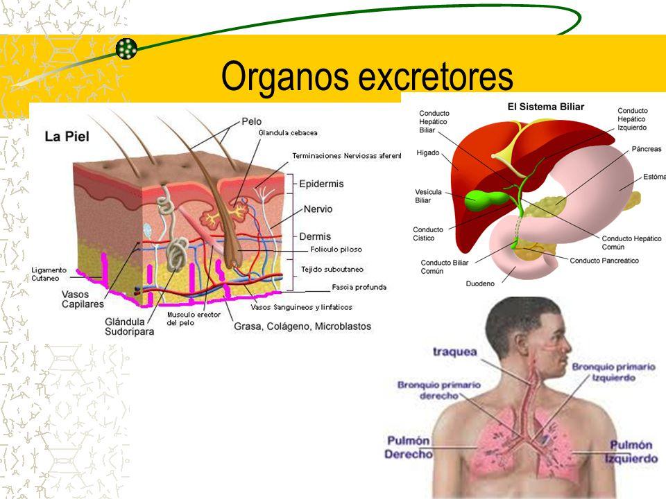 Se produce en los túbulos contorneado proximal, asa de Henle y túbulo contorneado Distal.