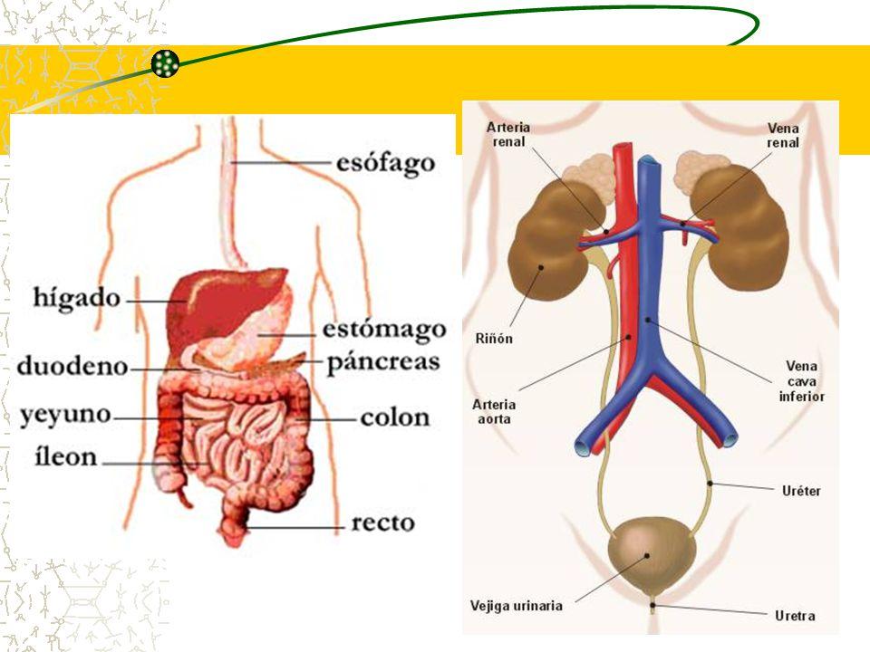 7 ÓRGANOS IMPLICADOS EN LA EXCRECIÓN Productos de desecho Origen del producto Órgano productor Órgano de excreción Medio excretor Urea Por la degradación de aminoácidos HígadoRiñonesOrina Ácido úrico Por la degradación de purinas Hígado Orina Pigmentos biliares Por la degradación de hemoglobina HígadoA.