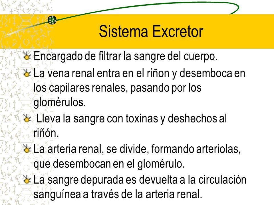 SISTEMA RENAL Riñones CortezaMédula Pirámides Renales Nefrón Vías Urinarias Vejiga Urinaria Uréter Uretra