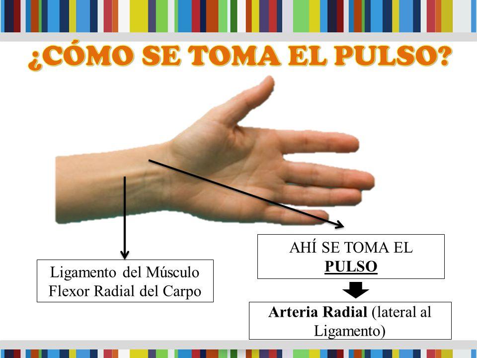Ligamento del Músculo Flexor Radial del Carpo Arteria Radial (lateral al Ligamento) AHÍ SE TOMA EL PULSO