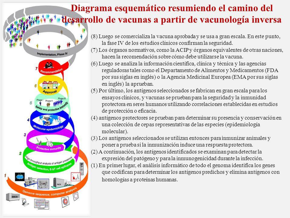 Diagrama esquemático resumiendo el camino del desarrollo de vacunas a partir de vacunología inversa (8) Luego se comercializa la vacuna aprobada y se usa a gran escala.