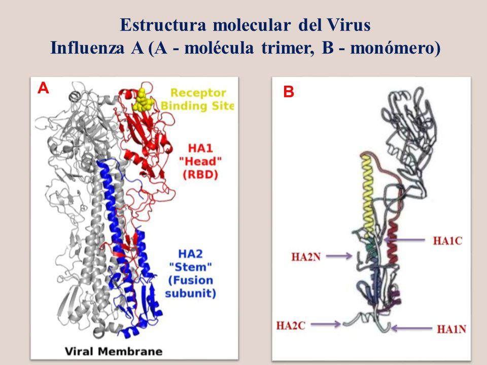 А В Estructura molecular del Virus Influenza A (А - molécula trimer, В - monómero)