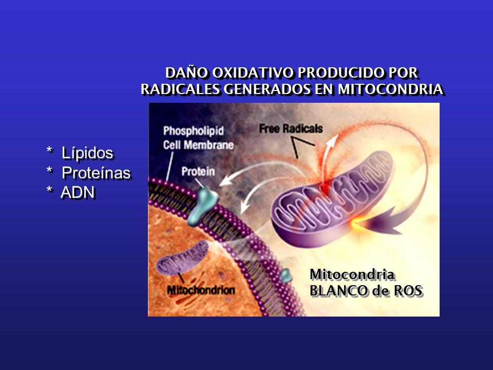 DAÑO OXIDATIVO PRODUCIDO POR RADICALES GENERADOS EN MITOCONDRIA DAÑO OXIDATIVO PRODUCIDO POR RADICALES GENERADOS EN MITOCONDRIA * Lípidos * Proteínas * ADN * Lípidos * Proteínas * ADN Mitocondria BLANCO de ROS Mitocondria