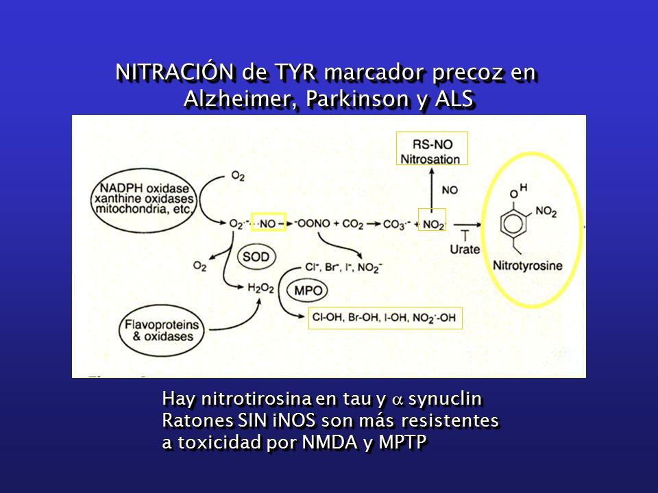 NITRACIÓN de TYR marcador precoz en Alzheimer, Parkinson y ALS NITRACIÓN de TYR marcador precoz en Alzheimer, Parkinson y ALS Hay nitrotirosina en tau y  synuclin Ratones SIN iNOS son más resistentes a toxicidad por NMDA y MPTP