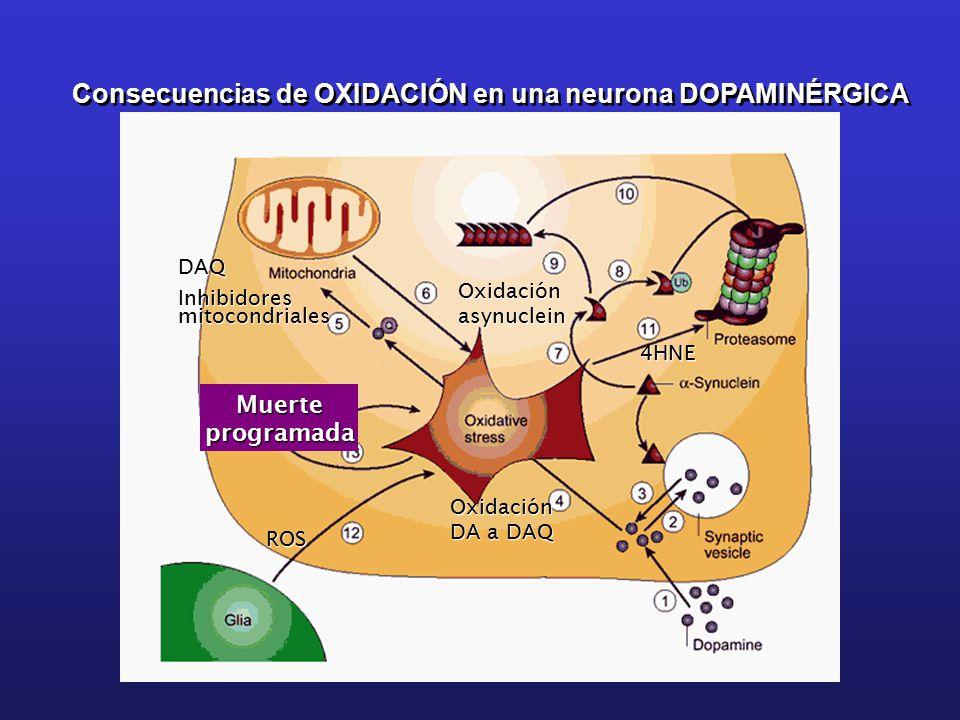 Consecuencias de OXIDACIÓN en una neurona DOPAMINÉRGICA DAQ Inhibidores mitocondriales Oxidaciónasynuclein Oxidación DA a DAQ ROS 4HNE Muerteprogramada