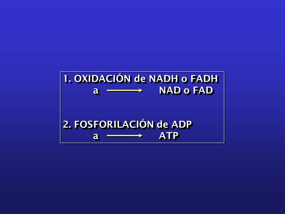 1. OXIDACIÓN de NADH o FADH a NAD o FAD a NAD o FAD 2.