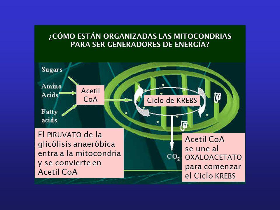 ¿CÓMO ESTÁN ORGANIZADAS LAS MITOCONDRIAS PARA SER GENERADORES DE ENERGÍA.