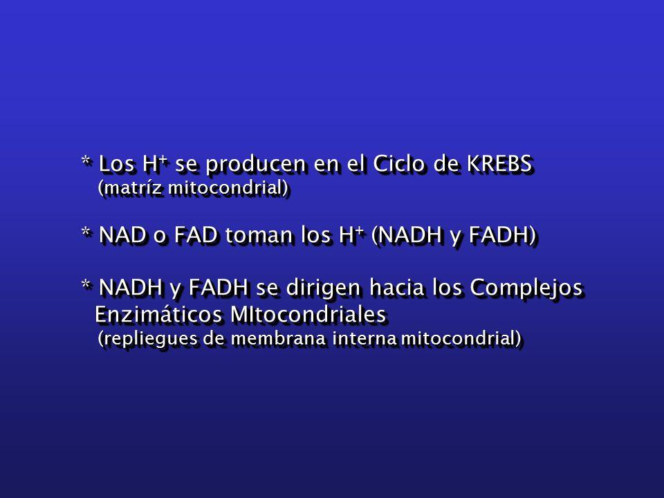 * Los H + se producen en el Ciclo de KREBS (matríz mitocondrial) (matríz mitocondrial) * NAD o FAD toman los H + (NADH y FADH) * NADH y FADH se dirigen hacia los Complejos Enzimáticos MItocondriales Enzimáticos MItocondriales (repliegues de membrana interna mitocondrial) (repliegues de membrana interna mitocondrial) * Los H + se producen en el Ciclo de KREBS (matríz mitocondrial) (matríz mitocondrial) * NAD o FAD toman los H + (NADH y FADH) * NADH y FADH se dirigen hacia los Complejos Enzimáticos MItocondriales Enzimáticos MItocondriales (repliegues de membrana interna mitocondrial) (repliegues de membrana interna mitocondrial)