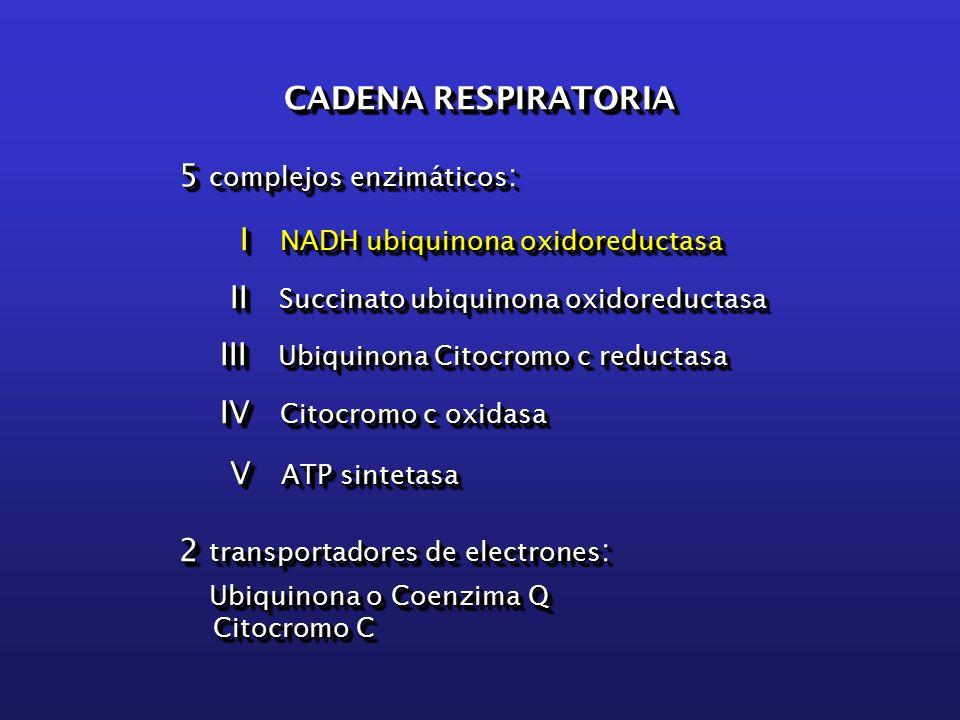 CADENA RESPIRATORIA 5 complejos enzimáticos : I NADH ubiquinona oxidoreductasa I NADH ubiquinona oxidoreductasa II Succinato ubiquinona oxidoreductasa II Succinato ubiquinona oxidoreductasa III Ubiquinona Citocromo c reductasa III Ubiquinona Citocromo c reductasa IV Citocromo c oxidasa IV Citocromo c oxidasa V ATP sintetasa V ATP sintetasa 2 transportadores de electrones : Ubiquinona o Coenzima Q Ubiquinona o Coenzima Q Citocromo C Citocromo C CADENA RESPIRATORIA 5 complejos enzimáticos : I NADH ubiquinona oxidoreductasa I NADH ubiquinona oxidoreductasa II Succinato ubiquinona oxidoreductasa II Succinato ubiquinona oxidoreductasa III Ubiquinona Citocromo c reductasa III Ubiquinona Citocromo c reductasa IV Citocromo c oxidasa IV Citocromo c oxidasa V ATP sintetasa V ATP sintetasa 2 transportadores de electrones : Ubiquinona o Coenzima Q Ubiquinona o Coenzima Q Citocromo C Citocromo C